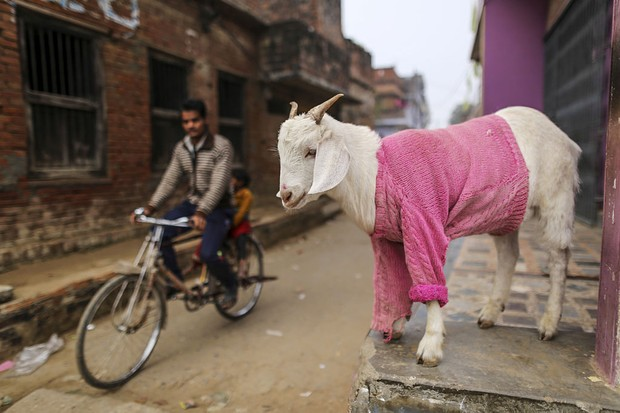 A goat wearing a sweater stands outside a house in Varanasi, Uttar Pradesh, India, on Thursday Dec. 8, 2016. Indian Prime Minister Narendra Modi's Nov. 8 decision to ban high-value currency notes, effectively cancelling 86 percent of cash in circulation, was designed to stifle corruption and tax evasion, but many of the hardest-hit are workers in India's vast and intricate informal economy -- the small businesses, shops, weavers and countless other basic industries and services that employ more than 90 percent of Indian workers. Photographer: Dhiraj Singh/Bloomberg via Getty Images