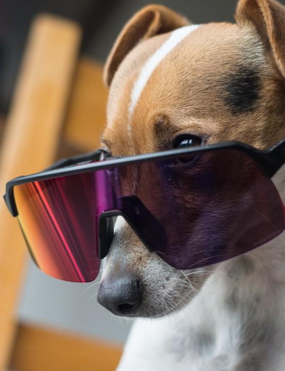 Pippin the dog wearing Oakley Sutro Lite glasses