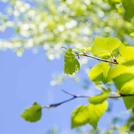 Birch tree in the springtime