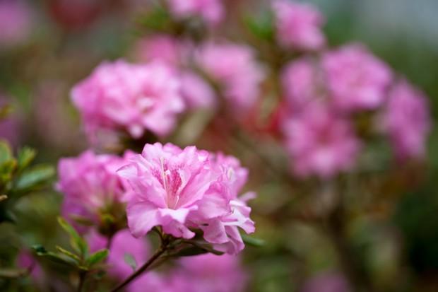 Pink azaleas flowering in spring