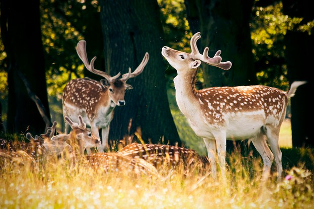 Fallow deer at Tatton Park, Cheshire