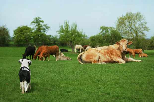 Dog with cows