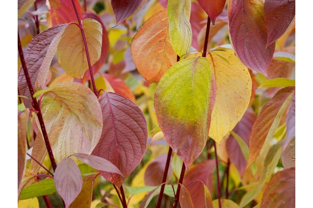 Red-barked dogwood (Cornus alba sibirica)