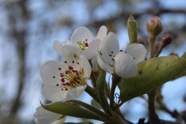 Close up, pear blossom with Aphid against blue sky.
