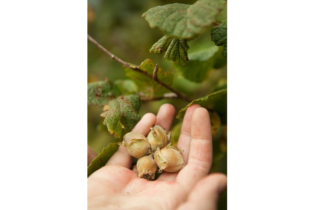 Handful of foraging hazelnuts