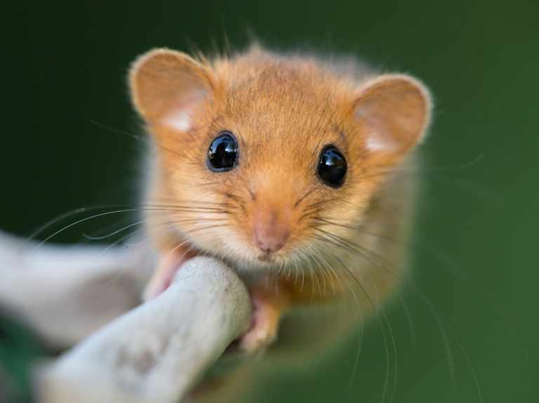 Guide to dormice: how to identify, facts about the species and conservation