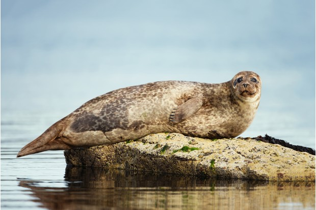 Common seal on rock