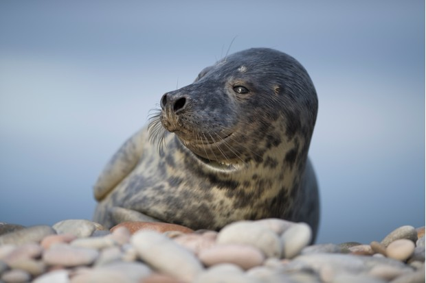 Grey seal on beach