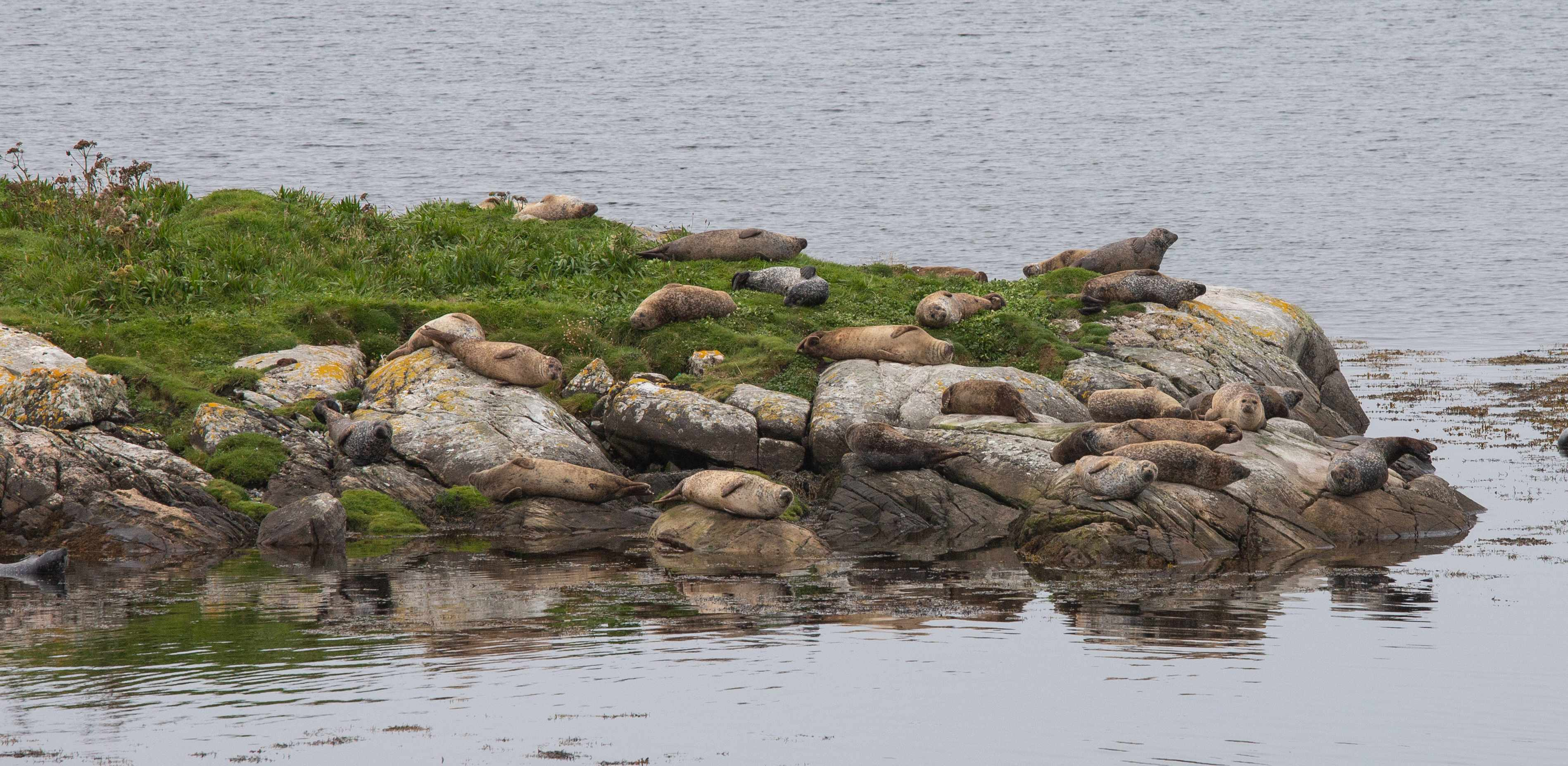 Seals hauled out on rocks