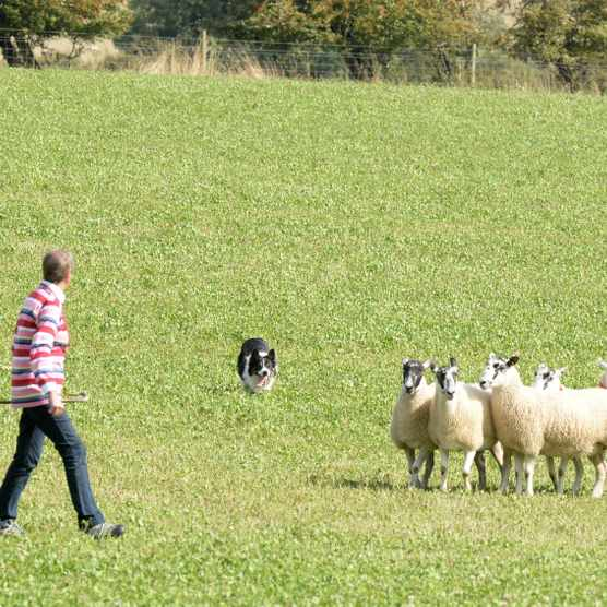 Sheepdog trial