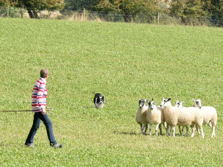 Guide to One Man and His Dog: history of British sheepdog trials and the rules