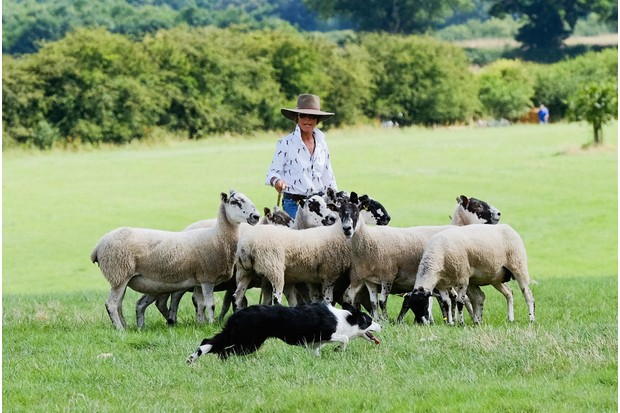 Woman with sheep and sheepdog