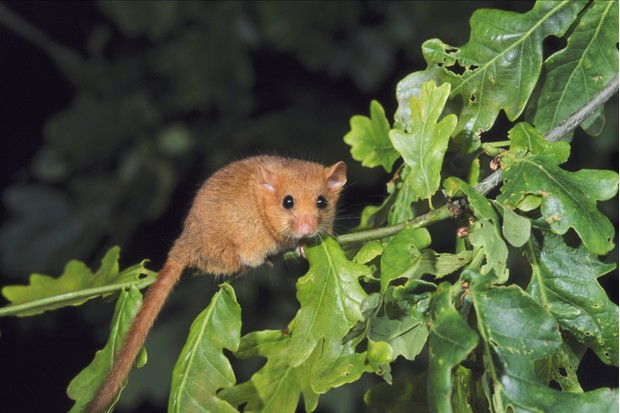 Common dormouse, UK