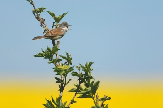 whitethroat_hires_AAA5951-c5a086b