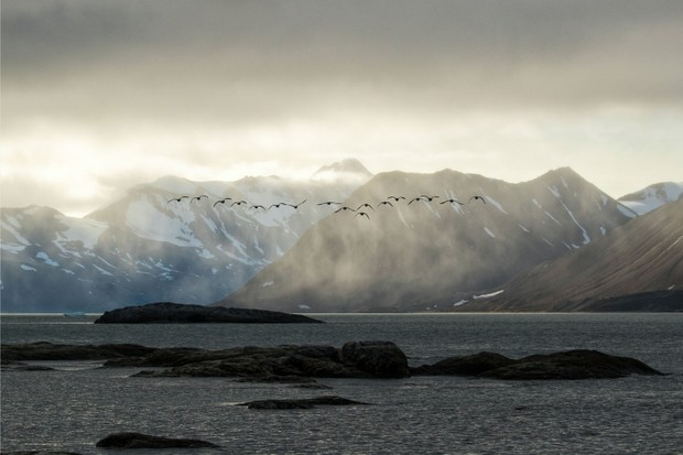 Arctic geese in flight