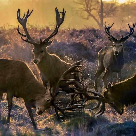Deer rutting in Richmond Park, London