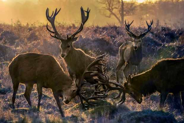 Deer rutting in Richmond Park, London