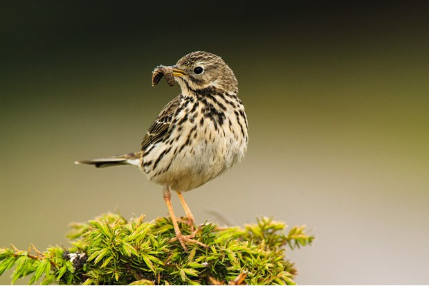 Meadow Pipit ©Getty