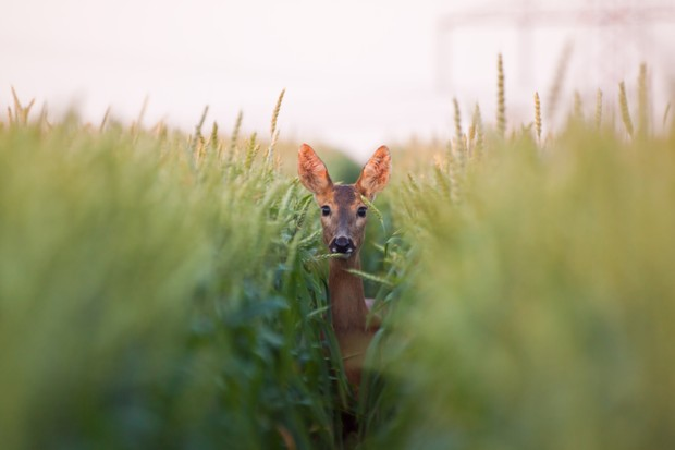 Roe deer in wheat field