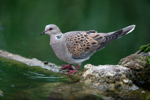 turtle-dove-uk