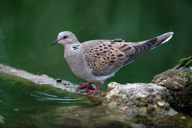 turtle-dove-uk