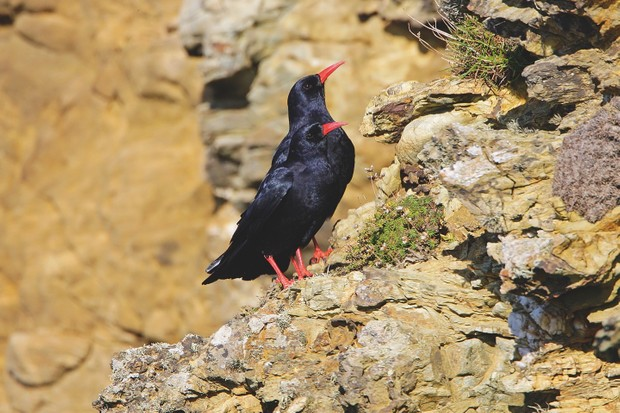 Chough on rock