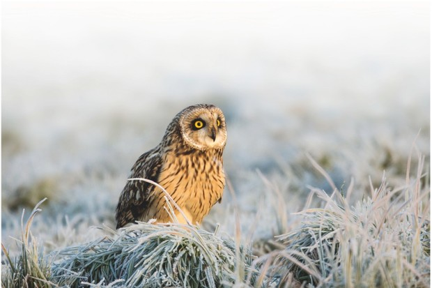 Short eared owl ©Alamy