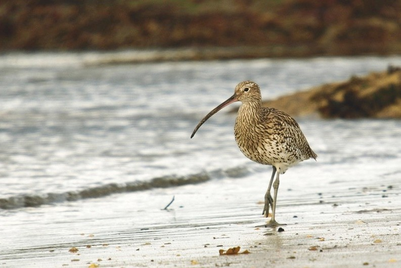 curlew on beach