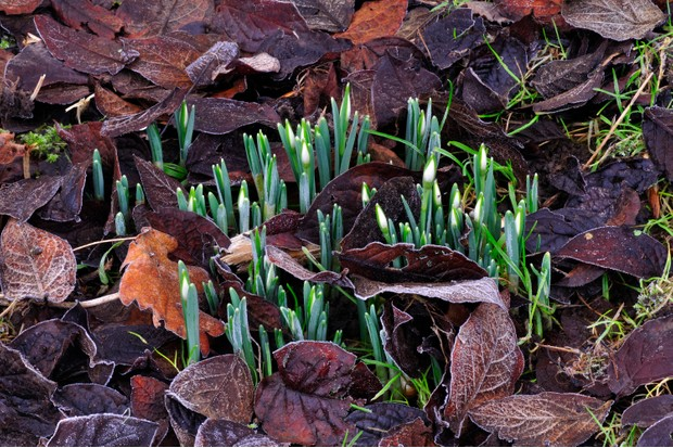 Clump of early snowdrops in February
