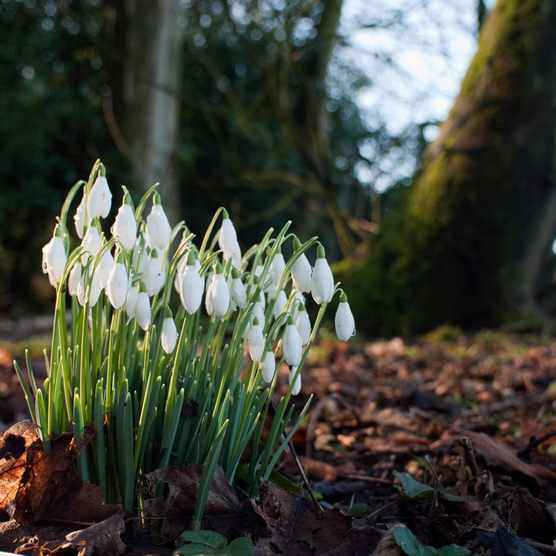 Snowdrops in woodlands