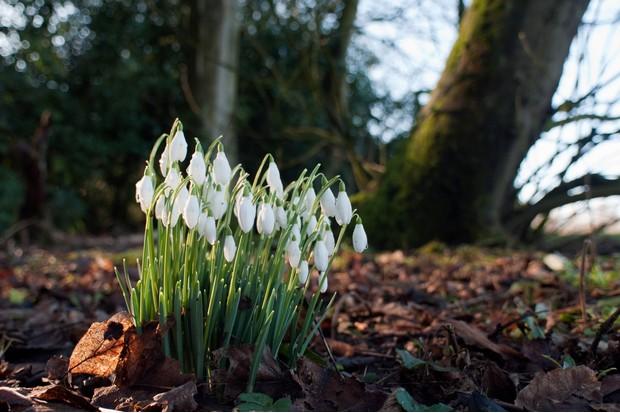 Snowdrops in woodlands