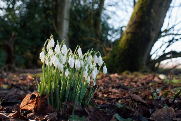 Head to your local woodlands to spot snowdrops in January and February (Getty)