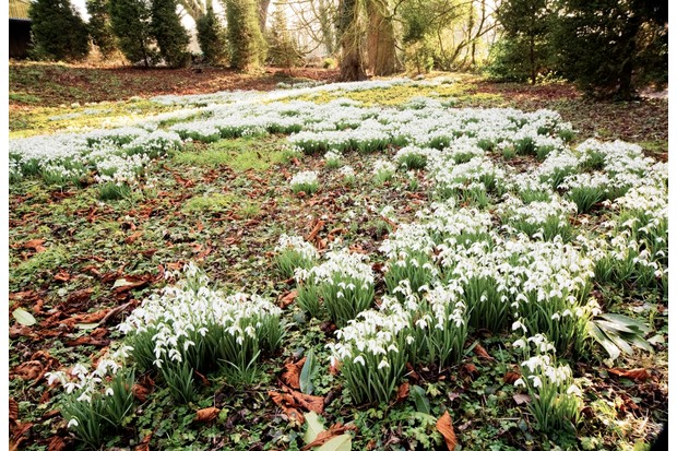 Snowdrops growing in woodlands