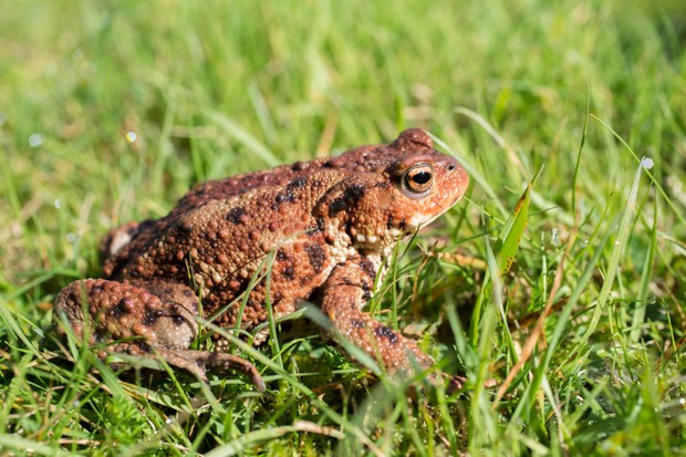 Common-toad-UK