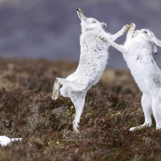 Boxing mountain hares