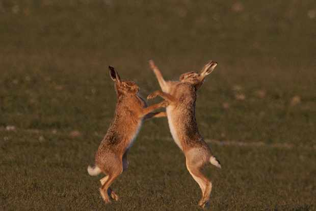 March hares: why do they box and best places to see them in the UK