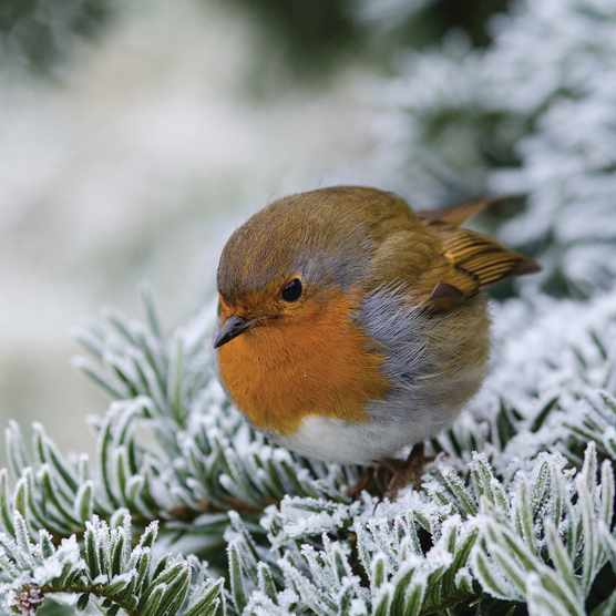 Robin on frosted pine branch
