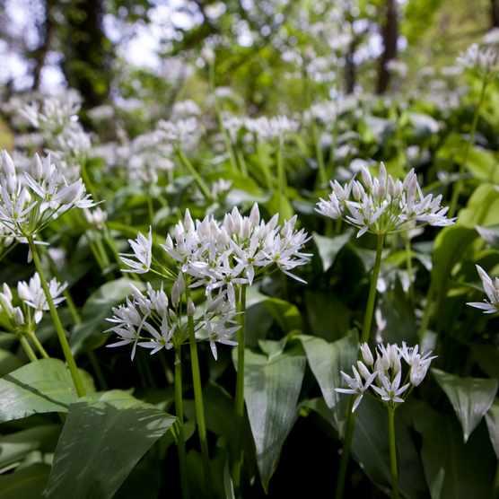 Wild garlic growing wild