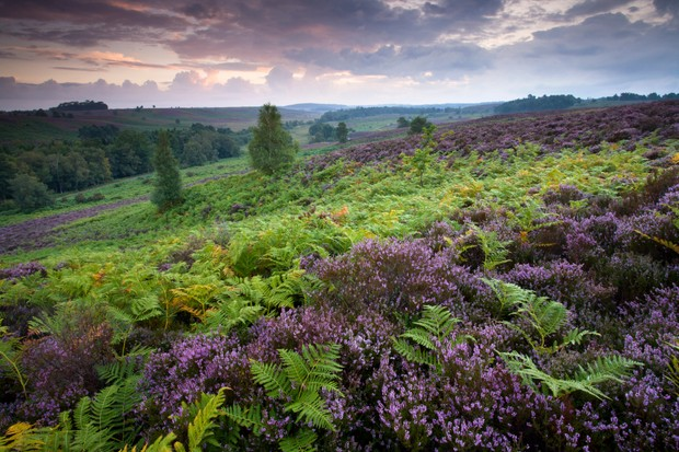 Flowering bell heather and bracken on Rockford Common in the New Forest National Park, Hampshire, England