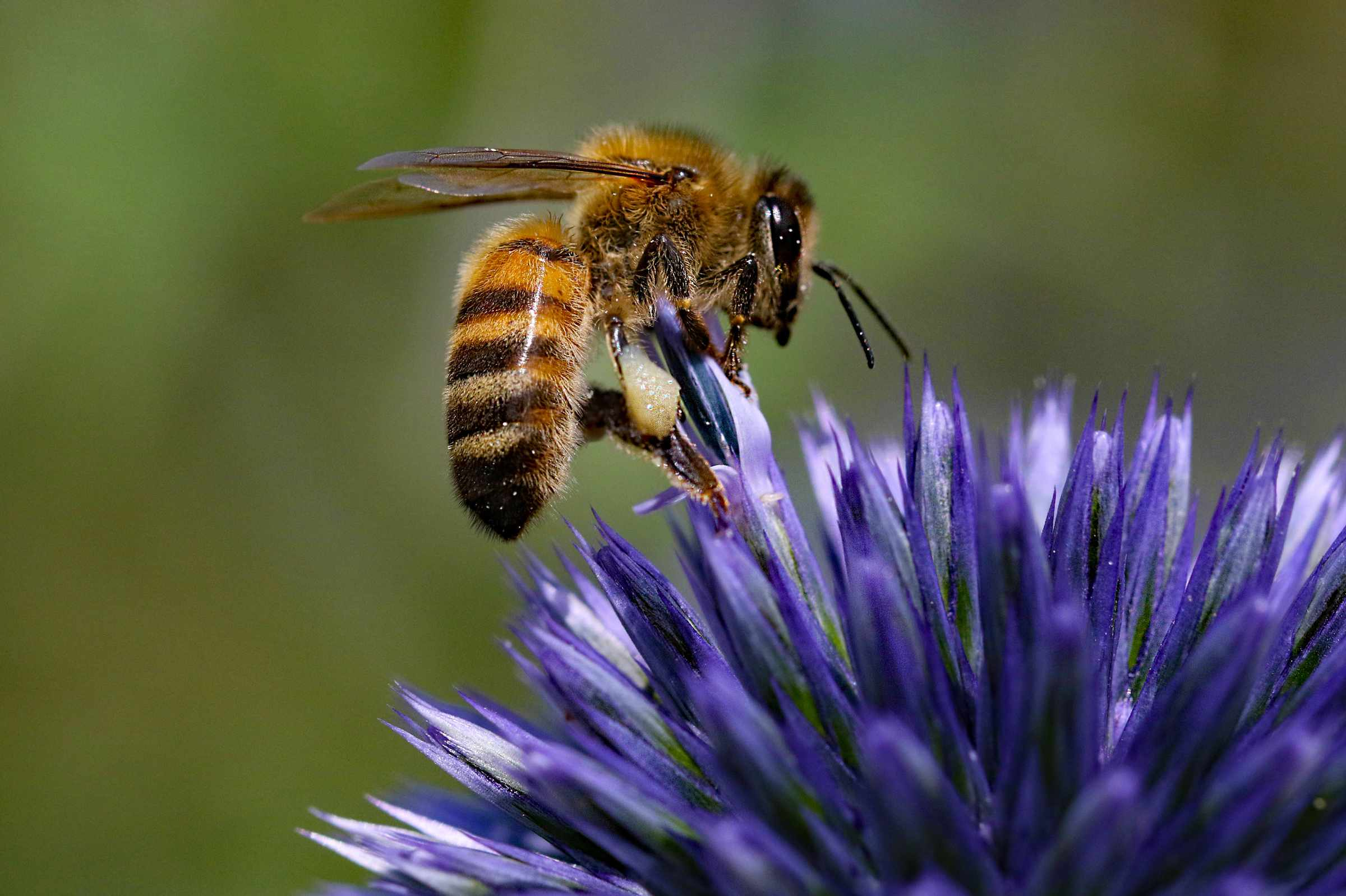 Honey bee on Echinop Thistle