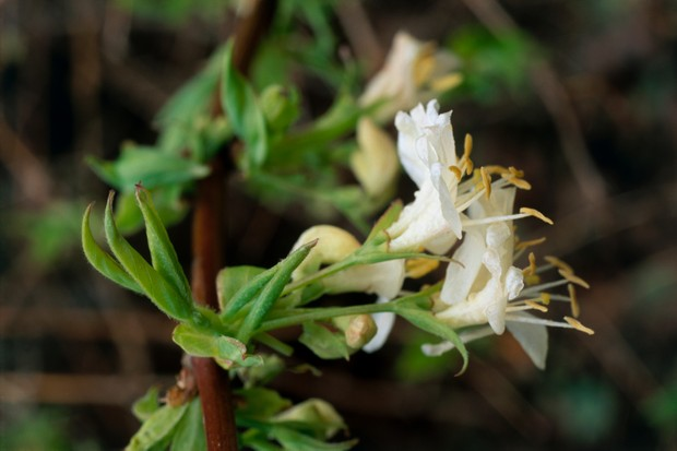 Lonicera fragrantissima (Honeysuckle), close-up of white flower (Getty)