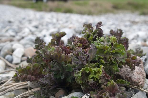 Sea kale growing on a beach