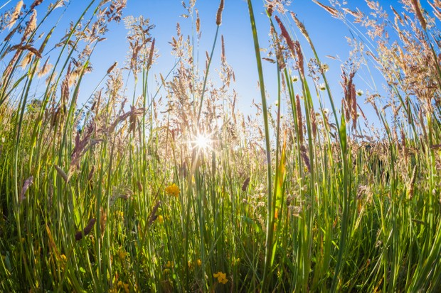 Yorkshire fog (Holcus lanatus) and other meadow grasses