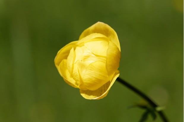 Globe flower, Trollius europaeus
