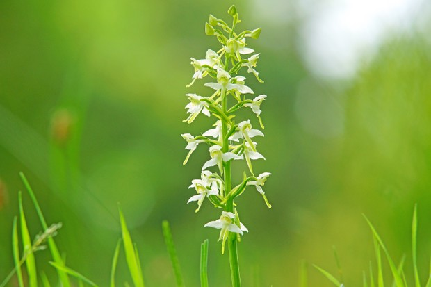 Greater Butterfly Orchid, Gloucestershire, UK