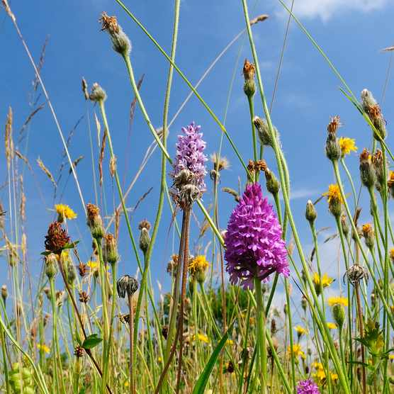 Traditional organic hay meadow with pyramid orchid, Gloucestershire