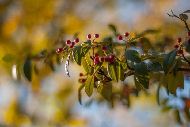 Berries of Sorbus Aucuparia 'Sheerwater Seedling'