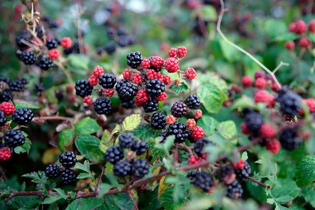 Blackberries growing in hedgerow