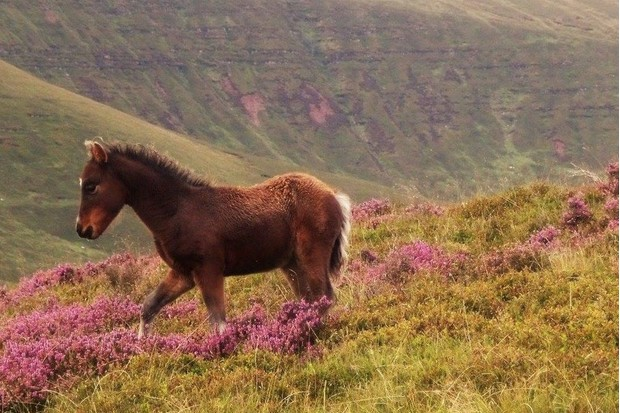 Look out for wild ponies on the ridge up to Carn Pica