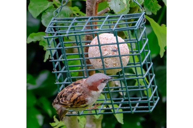 Adult sparrow seen perched on a bird feeder containing a high energy fat ball. Taken in early summer, the birds are feeding there out of view chicks.
